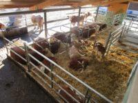Kühe und Kälber im Freilaufstall