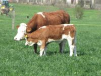 Kuh und Kalb