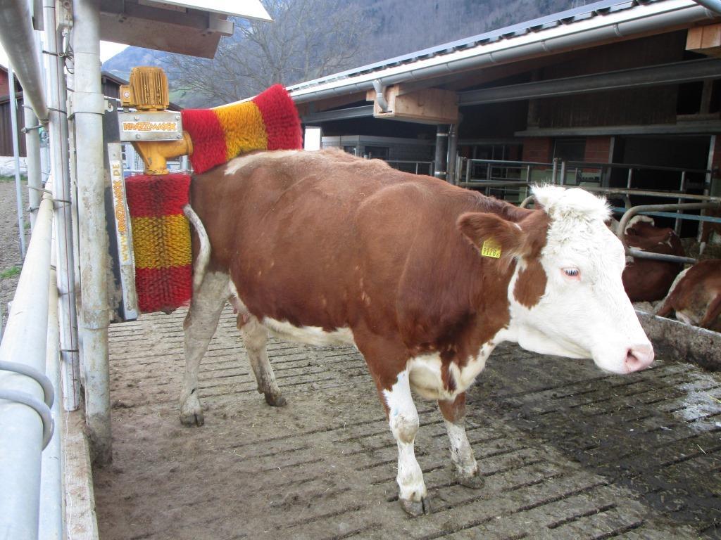 Wellnesse für die Kühe