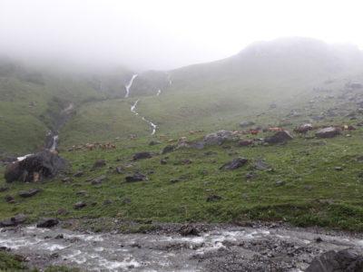 Die Kühe und Kälber sind auf der Alp