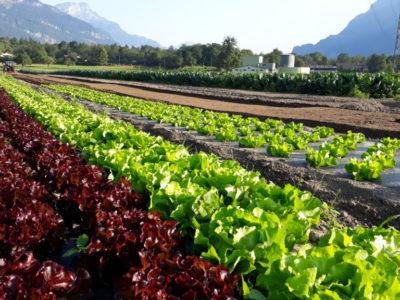 Salat im Garten