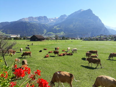 Die Kühe und Kälber geniessen das schöne Wetter