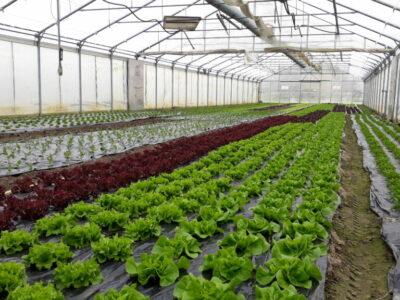 Die Salate am wachsen, der Frühling kann kommen