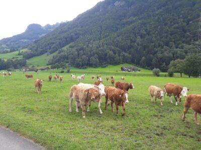 Mutterkühe und Kälber sind zurück von der Alp
